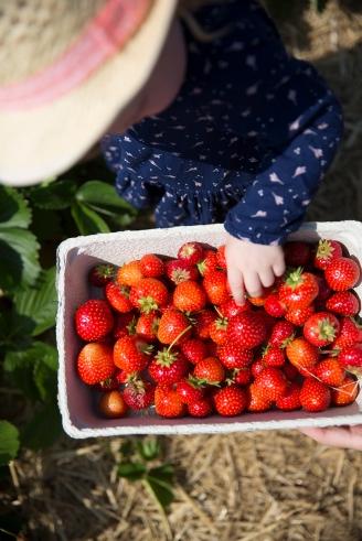 Strawberry picking 10