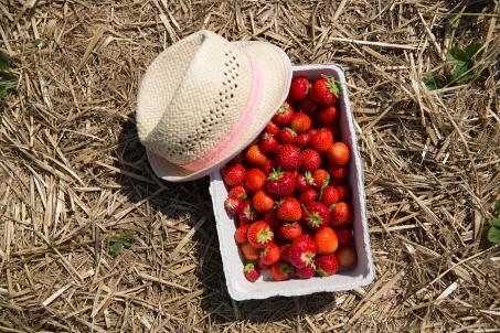 Strawberry picking 12