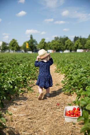 Strawberry picking 7