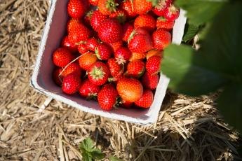 Strawberry picking 9