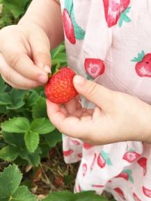 Strawberry picking 07
