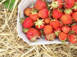 Strawberry picking 09